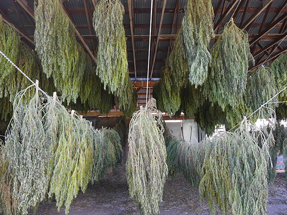 Hemp Drying & Storage