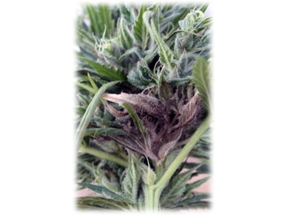 Cannabis Plant Pathology class