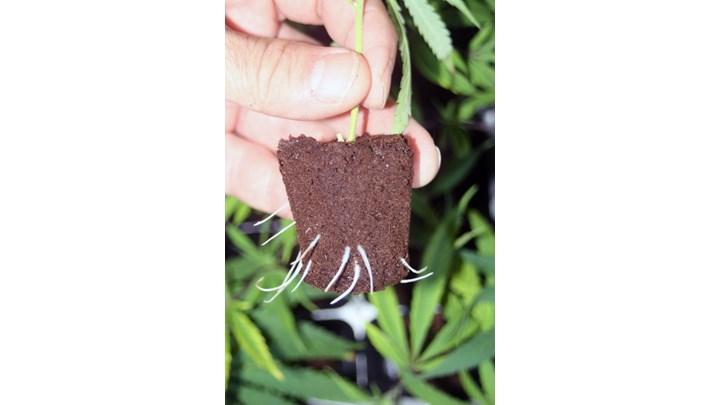 Cannabis Plant Propagation Class