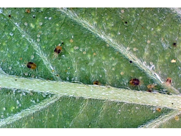 Cannabis Integrated Pest Management